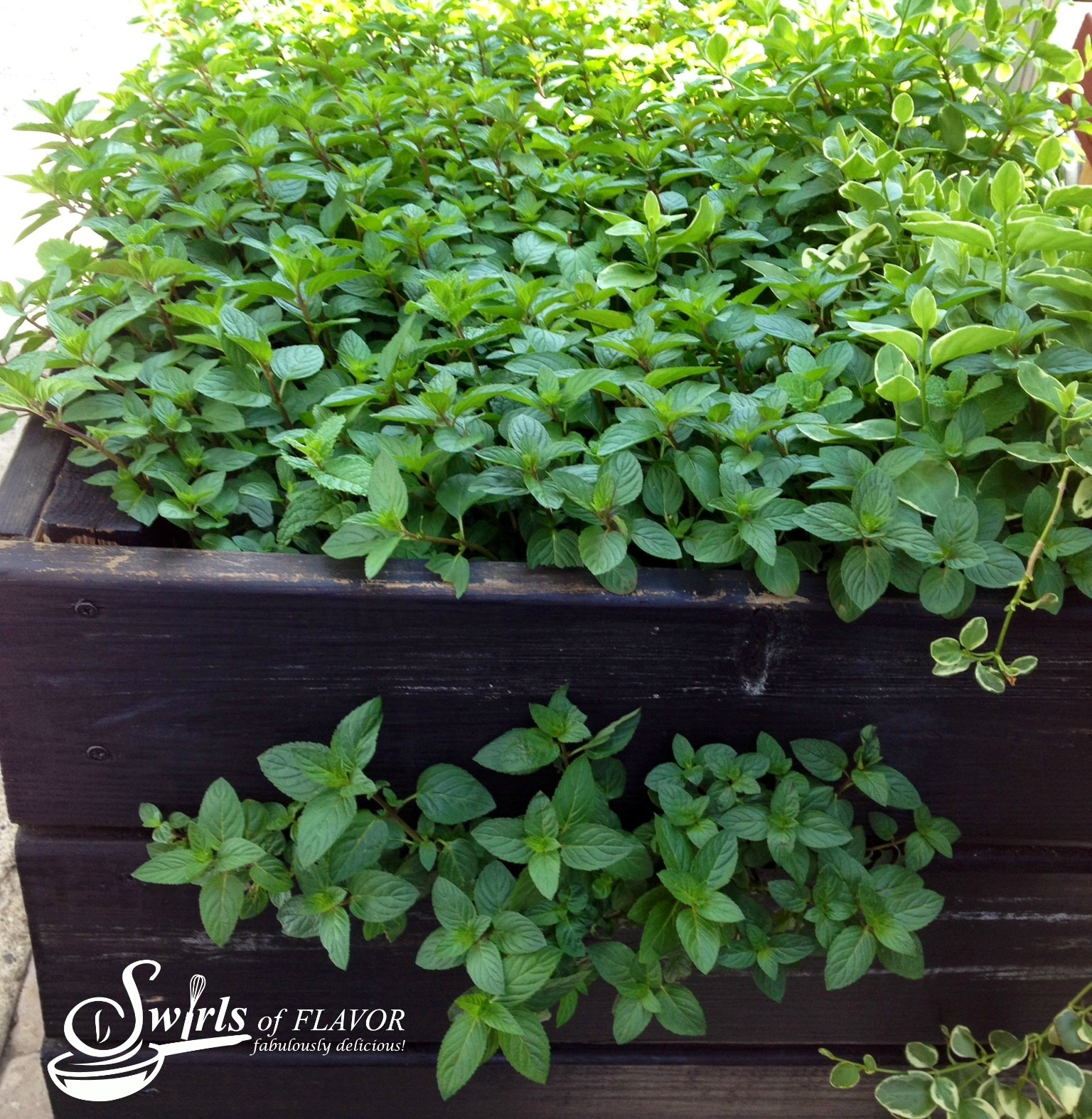 fresh mint growing in a container
