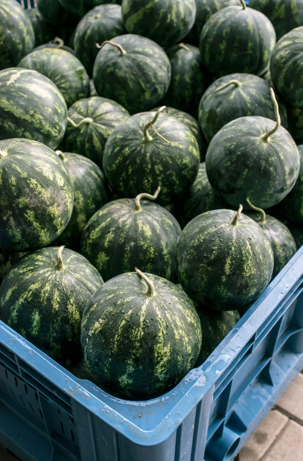 watermelons in a blue crate