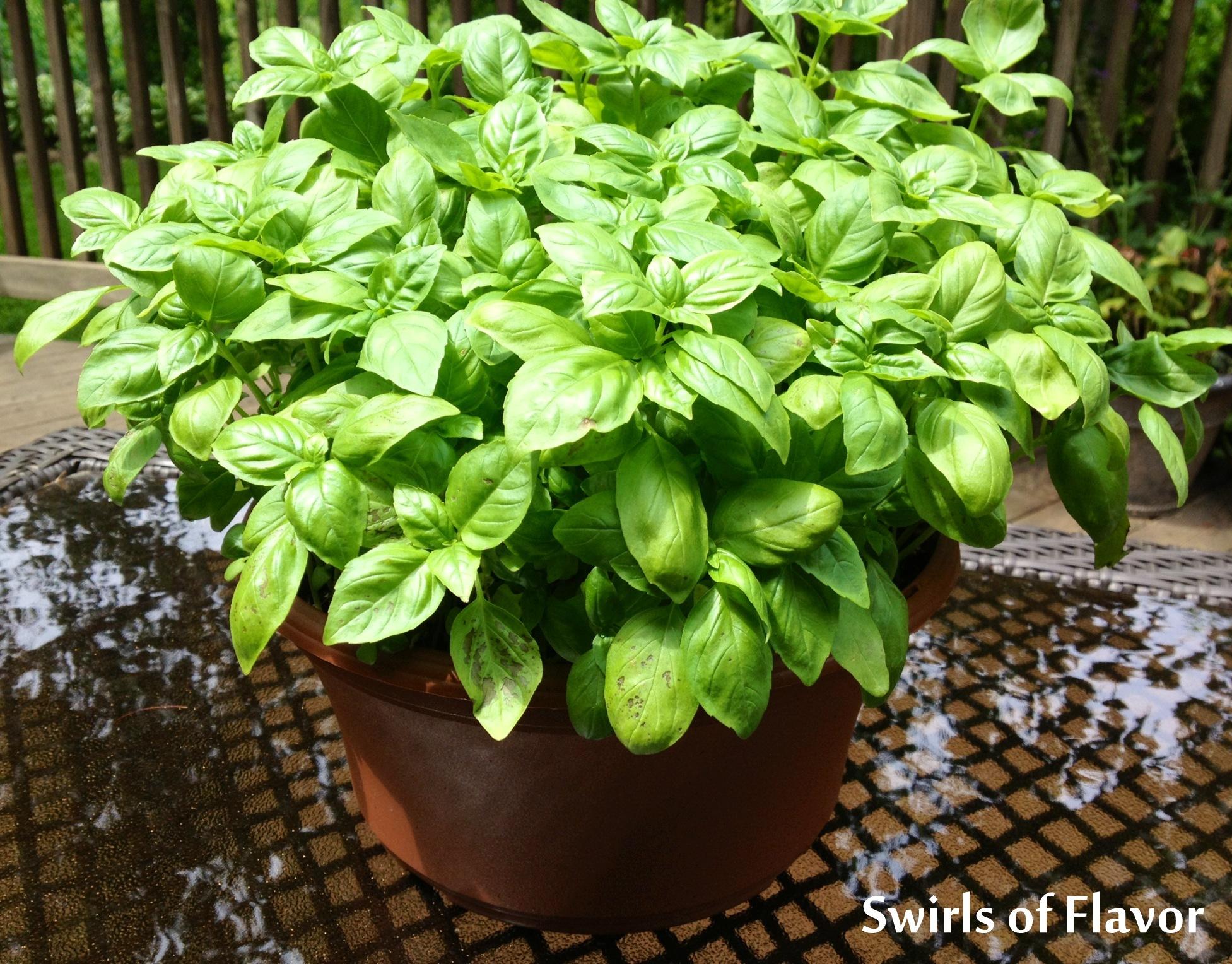 Fresh basil in a flower pot