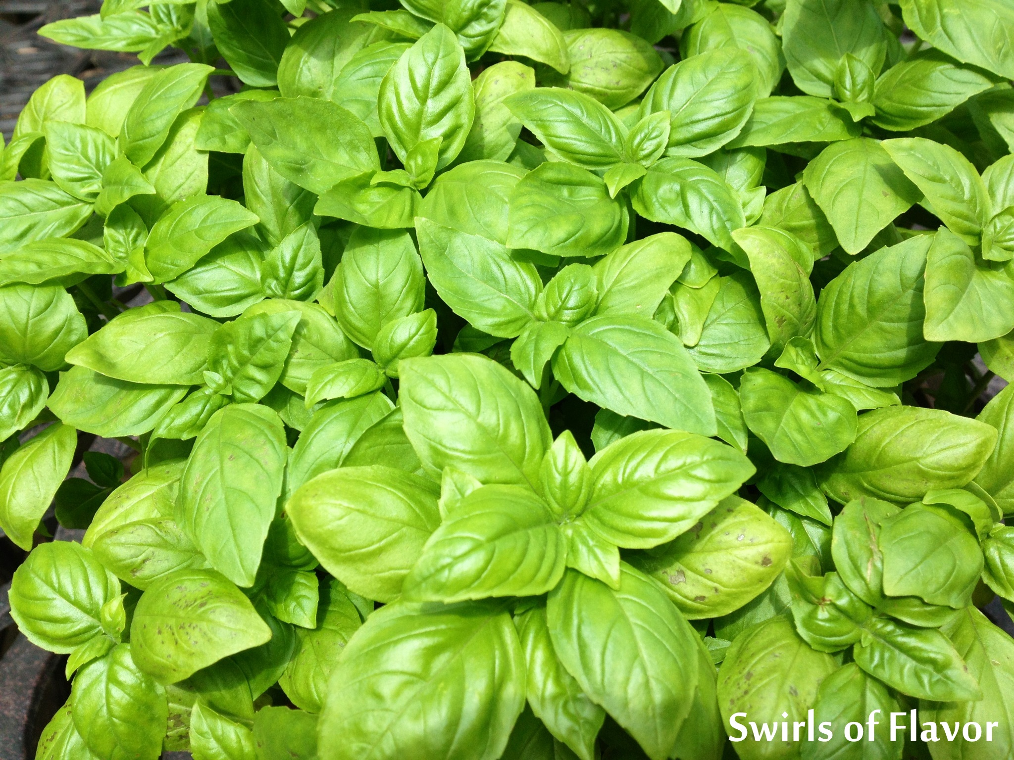 Basil Pesto is bursting with the flavors of extra virgin olive oil, fresh basil leaves from my garden, Parmesan cheese for texture and saltiness, lemon juice and zest for a bright note and the unexpected nuttiness of toasted almonds. #pesto #summer #summerrecipe #easyrecipe #basil #almonds #farmersmarket #swirlsofflavor