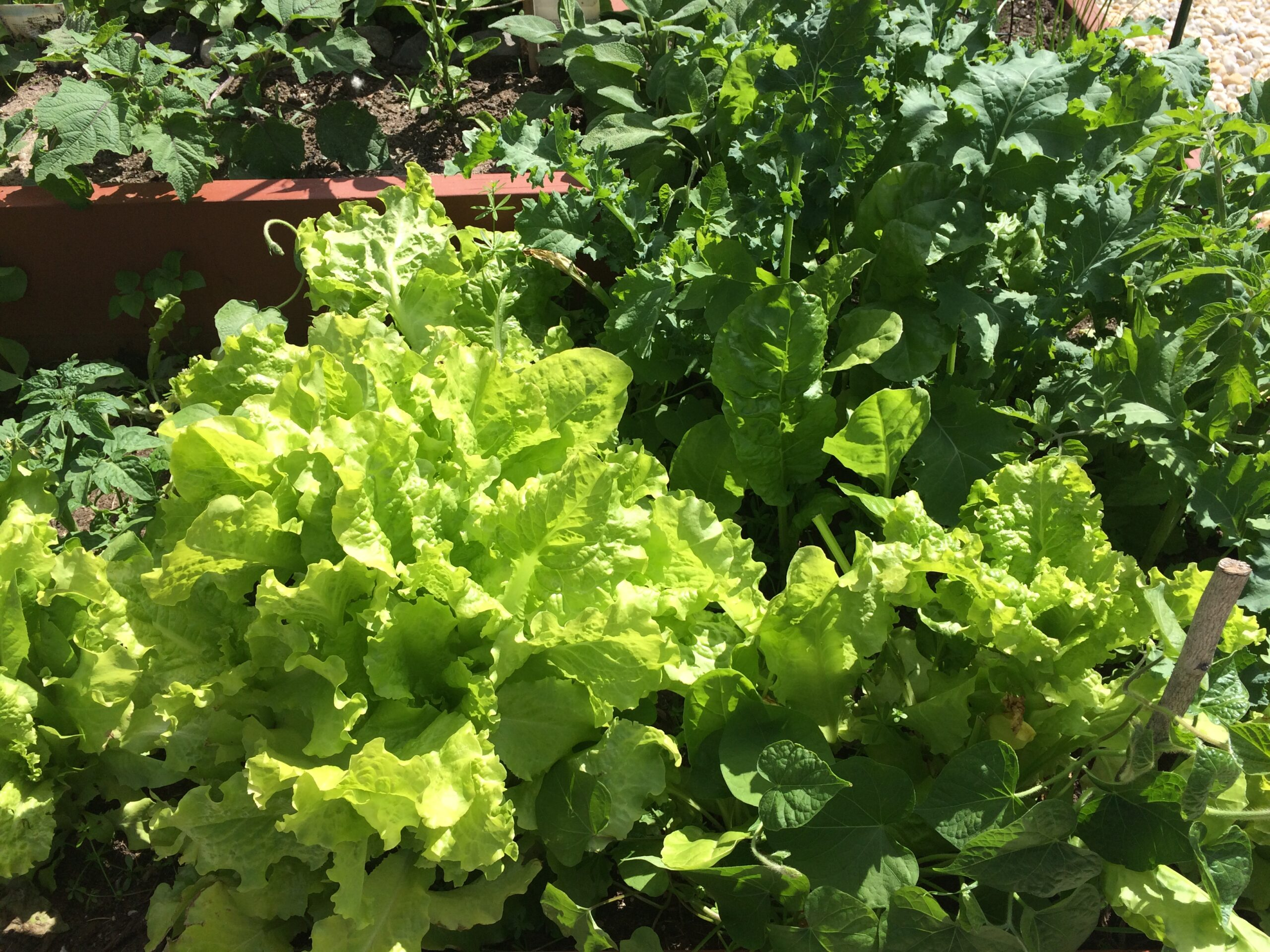 A variety of green lettuces